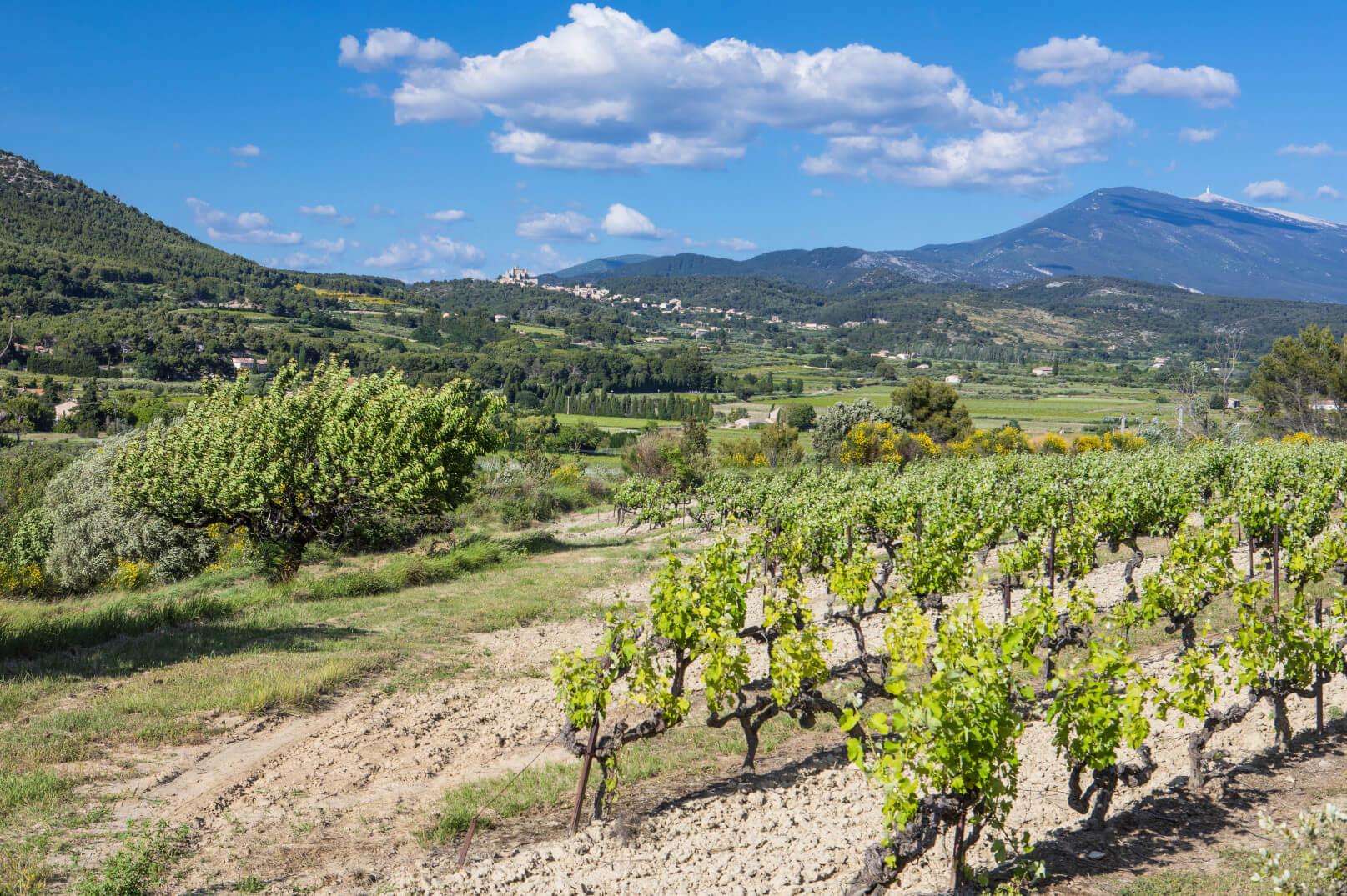 De wijngaarden van de Ventoux