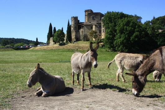 Ânes devant le château de Lourmarin ©HOCQUEL A